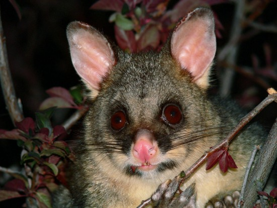 Fancy a hotpot made from a New Zealand possum?