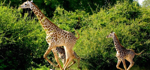 Giraffe-South-Luangwa