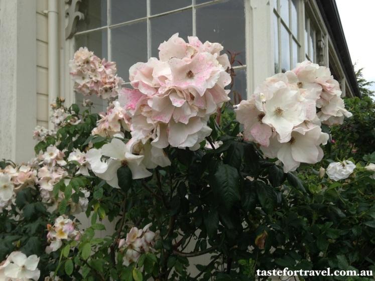A New Zealand rose, Taste for Travel 9