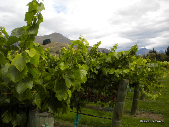 Grapevines at Amisfield Winery