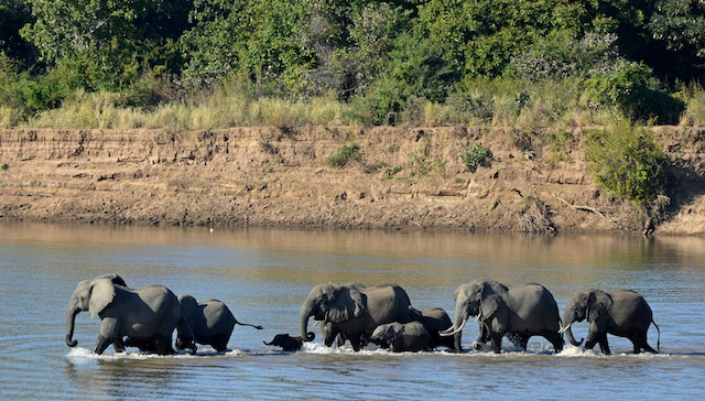 outh Luangwa elephants... on safari in Zambia