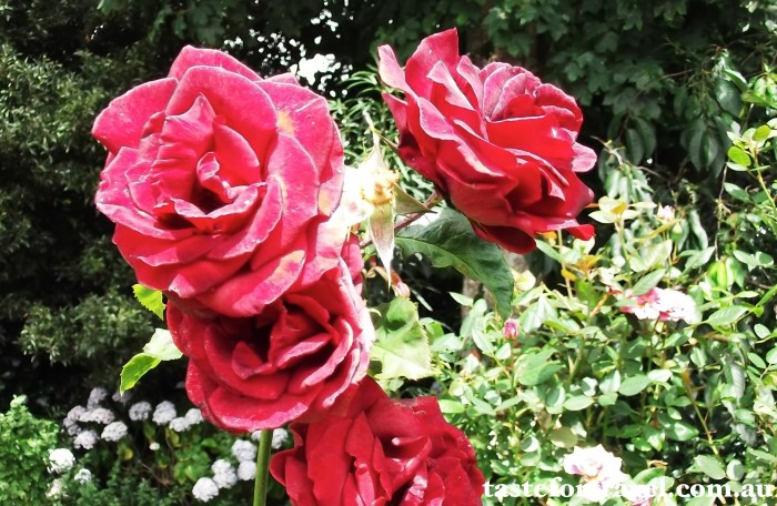 A New Zealand rose, Taste for Travel 3