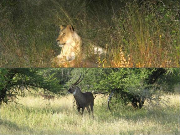 Lionness, antelope