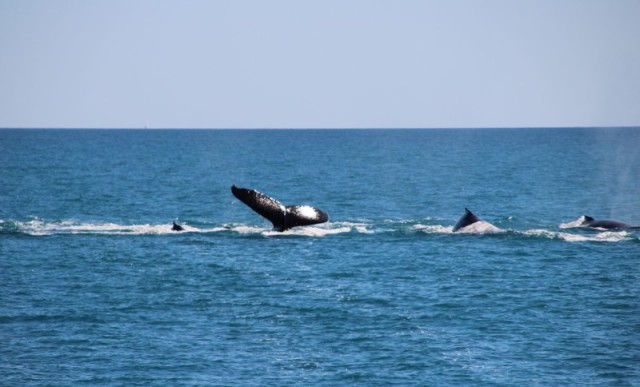 Whales in the Whitsunday Is 1