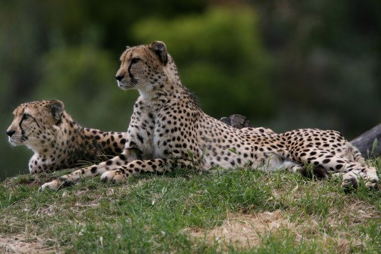 Cheetahs at Western Plains safari zoo in Australia - better than most