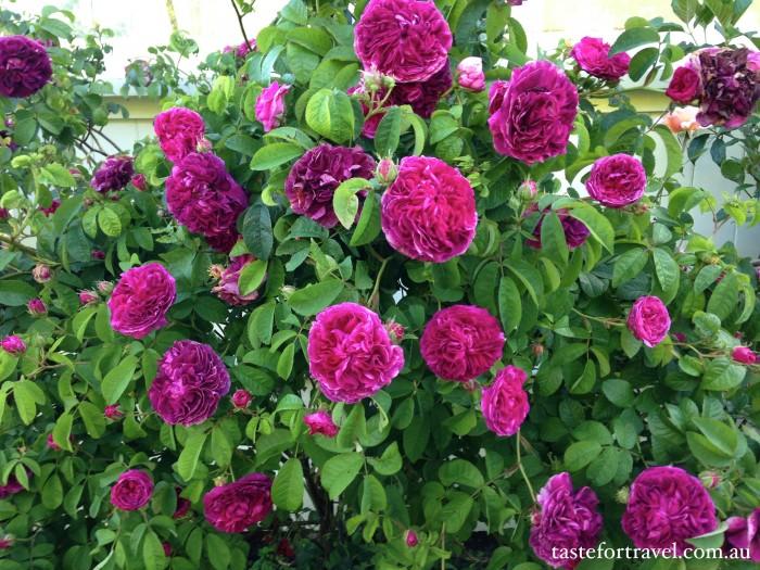 A New Zealand rose